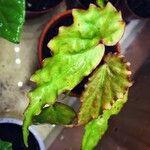 Begonia borneensis