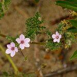 Erodium lebelii