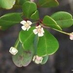 Boronia parvifolia