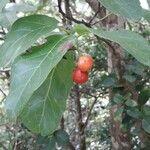 Bourreria succulenta Fruit