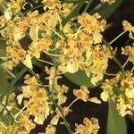 Oncidium baueri