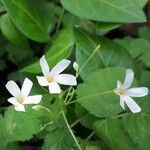 Oxalis articulata