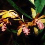 Dendrobium cymatoleguum