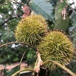 Castanea sativa Owoc