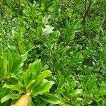 Burseraceae