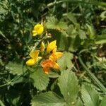 Lotus ucrainicus