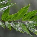 Hybanthus guanacastensis