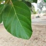 Ficus sycomorus Blatt