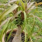 Beaucarnea guatemalensis