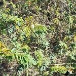 Mimosa bimucronata