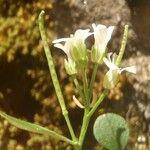 Cardamine alpina