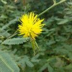 Neptunia plena Flower