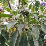 Solanum mauritianum Frukt