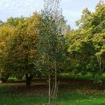 Eucalyptus subcrenulata