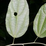 Malvaviscus palmanus