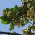 Boscia angustifolia 葉