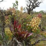 Epidendrum cylindraceum