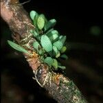 Anathallis barbulata