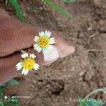 Tridax procumbens Flor