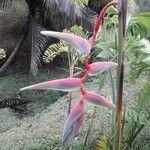 Heliconia rostrata 花
