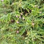 Cuphea hyssopifolia Flower