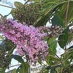 Buddleja davidii Flower