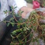 Chamaesyce thymifolia