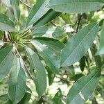 Sideroxylon capiri