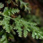 Polyphlebium vieillardii