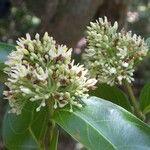 Forsteronia spicata