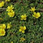 Oxalis bisfracta