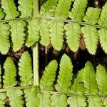 Dryopteris maderensis