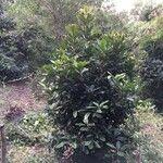 Pittosporum cherrieri 葉