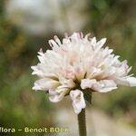 Knautia mauritanica