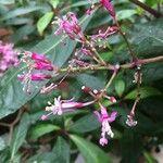 Fuchsia arborescens