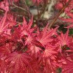 Acer palmatum List