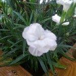 Dianthus caryophyllus Leaf