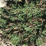 Dianthus haematocalyx
