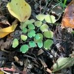 Thalictrum dioicum Leaf