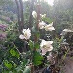 Bougainvillea spectabilis Flower