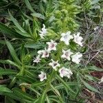 Echium virescens
