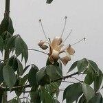 Ceiba aesculifolia