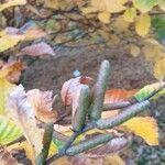 Betula medwediewii