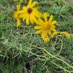 Senecio inaequidens Flower