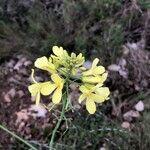 Brassica montana