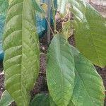Theobroma cacao Frutto