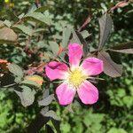 Rosa ferruginea