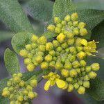 Alyssum argenteum