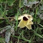 Hibiscus diversifolius