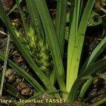 Carex hordeistichos
